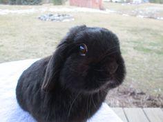 My beautiful bunny, Mr. Moe. Sr. black, buck
