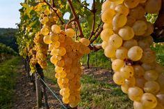 #Vineyard, Friuli Venezia Giulia Cruise Italy, Italy Trip, Italy Travel, Wine Vineyards, Mamma, More, Wine Recipes, Places To See, Cinema