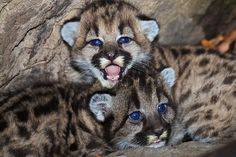 Did you know mountan lion cubs have spots but adults don\'t? The spots help to camoflauge the cubs while the mom is out hunting. Learn more at carnivores.org