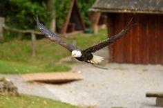 Birds In Flight, Bald Eagle, Animals, Animales, Flying Birds, Animaux, Animal, Animais