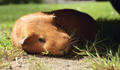 guinea pig sleeping in the sun