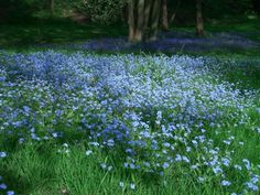 A Meadow & Woodland-Edge Converge  - Filling the Scene with Forget-Me-Nots and Bluebells!