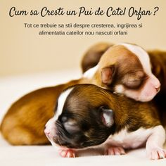Cum sa Cresti un Pui de Catel Orfan, tot ce trebuie sa stii despre cresterea, ingrijirea si alimentatia puilor de catle nou nascuti ramasi orfani. Jack Russell Puppies, Pure Happiness, Snuggles, Make You Smile, Boston Terrier, French Bulldog, Pure Products, Funny, Dogs