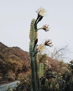 Cactus in bloom, Topanga Canyon, California