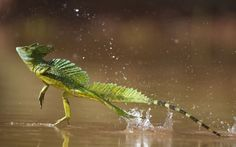 Green / double-crested basilisk (Basiliscus plumifrons) running across water surface, Santa Rita, Costa Rica. Picture: Bence Mate/NPL / Rex Features
