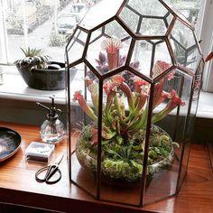 Насекомоядные растения любят высокую влажность поэтому в средних широтах им бывает комфортнее во флорариумах. Впрочем делать это нужно с осторожностью. Например мухоловки росянки и жирянки закрытые пространства не любят. А вот саррацении и непентесы прекрасно растут в колбах. My carnivores are doing so well  so far they're all vegetarian though... #carnivorousplants  #venusflytrap #sarracenia #drosera #belljar #wishihadsomefliestogivethem ( # @arienaisekai )  #ulsk #ульяновск #ulyanovsk…