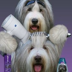 Dog Grooming Publicidad 23 Dogs With Better Blowouts Than You.Dog Grooming Publicidad 23 Dogs With Better Blowouts Than You Cute Funny Animals, Funny Dogs, Cute Dogs, Dog Grooming Shop, Dog Grooming Business, Bearded Collie, Best Dog Toys, Best Dogs, Schwarzer Labrador Retriever