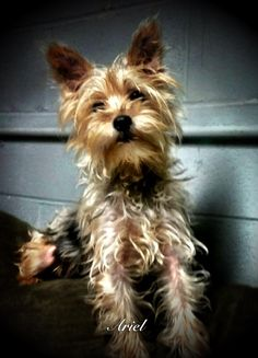 Meet Ariel, an adoptable Yorkshire Terrier Yorkie looking for a forever home. If you're looking for a new pet to adopt or want information on how to get involved with adoptable pets, Petfinder.com is a great resource. Yorkshire Terrier Dog, Yorkies, Ariel, Adoption, Meet, Dogs, Animals, Animales, Animaux