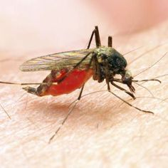 Assim como a dengue e a febre amarela, a malária é transmitida pela picada de um mosquito, mas há muitas outras diferenças. Conheça as principais.