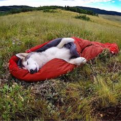 This is everything. A sleeping burrito! #campingwithdogs @loki_the_wolfdog