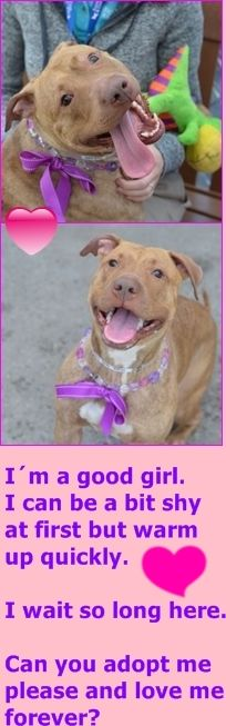 SAFE❤️❤️❤️ 8-30-15 SUPER URGENT Brooklyn Center GRACE POTTER – A1037043 FEMALE, BR BRINDLE, AM PIT BULL TER, 2 yrs STRAY – STRAY WAIT, NO HOLD Reason STRAY Intake condition UNSPECIFIE Intake Date 05/21/2015 http://nycdogs.urgentpodr.org/grace-potter-a1037043/