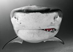 Tiburón tigre primer plano. Ellos llevan el nombre de las rayas verticales oscuras, que se encuentran principalmente en los menores. A medida que estos tiburones maduran, las líneas comienzan a desvanecerse y casi desaparecer. Foto por: Todd Bretl