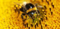 Natürliche Arznei für Bienen: Nikotin wehrt Parasiten ab - SPIEGEL ONLINE - Nachrichten - Wissenschaft