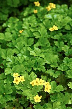 """Rönsyansikka on loistava """"jokapaikan"""" ikivihreä kasvi, joka viihtyy vaatimattomassakin paikassa ja on hyvän näköinen talvellakin. Kivenkoloihin?"""