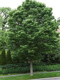hackberry: drought resistant - wonder if we could get rid ofthat sad little tree in the front, move it to the back, and plant this?