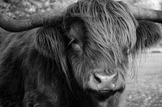 Highland Cattle someday!!!!