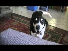 Funny talking dog is excited about the owner going to the pet store to get a kitty. I Love Dogs, Puppy Love, Cute Dogs, Funny Dogs, Funny Animals, Cute Animals, Smart Animals, If Dogs Could Talk, Buy A Kitten