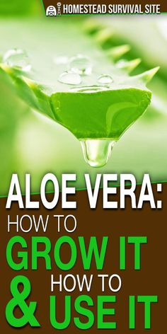 You've probably heard about the healing powers of the aloe vera plant for sunburn, but did you know it can also be used as a hair conditioner, as a liquid tonic, and to treat other skin conditions? What's even better is that aloe vera is easy to grow. Aloevera Plante, Compost, Benefits Of Eating Avocado, Pineapple Benefits, Growing Plants Indoors, Herbs Indoors, Turmeric Health Benefits, Homestead Survival, Medicinal Herbs