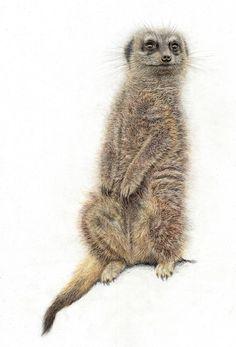 Wildlife: Meerkat