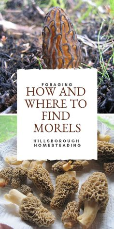 Hunting for morel mushrooms? Foraging for wild edibles and wildcrafting is a fun rewarding and delicious homesteading pastime. Take a look at these quick tips and tricks recipes for how to cook them a Edible Wild Mushrooms, Garden Mushrooms, Stuffed Mushrooms, Moral Mushrooms, Morel Mushroom Recipes, Mushroom Guide, Growing Mushrooms At Home, Porcini Mushrooms, Gastronomia
