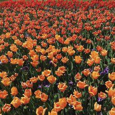 Image result for orange tulip aesthetic