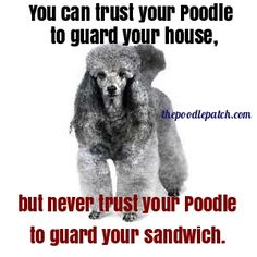 YOU CAN TRUST YOUR POODLE TO GUARD YOUR HOUSE BUT NEVER TRUST