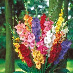 Van Bourgondien Gladiolus Mixed Bulbs – The Home Depot - DIY Blumen Deko Winter Plants, Summer Plants, Summer Flowers, Cut Flowers, Paper Flowers, Hawaiin Flowers, White Flowers, Gladiolus Bulbs, Gladiolus Flower