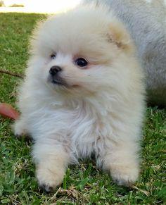 Pomeranian male puppy Charly