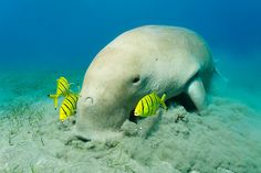 """Vacuum Cleaner"" by Norbert Probst, via redbubble.  Dugong, relative to manatees."