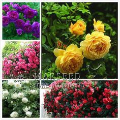 5 types of climbing Seeds Beautiful lovely color colorful yellow white purple red pink Free Shipping - in pink 30 datura seeds, dwarf brugmansia angel trumpet, bonsai flowers, delicious fragrance, exotic colorful flwoerus $ 1.99 / lot pieces / lot I psck 30 from species of bonsai Aliexpress.com | Alibaba Group