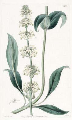 v. 15 (1829) - Edwards's botanical register. - Biodiversity Heritage Library