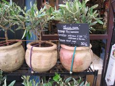 Conseils de culture et d'entretien de l'olivier en pot : engrais, arrosage, hivernage, taille, parasites et maladies...