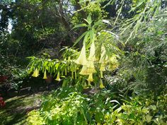 devils-breath-one source is trumpet's angel flower...they use for alumaya in ilocano...