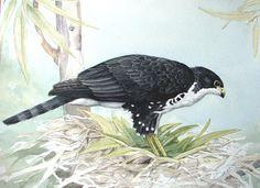 Black Sparrowhawk (Accipiter) by Jill Adams.