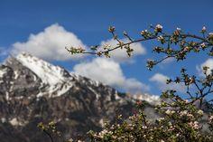 Spring - Sichelkamm behind cherry tree, Mols, Canton of St. Gallen, Switzerland