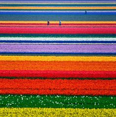 These Tulip Fields in The Netherlands.