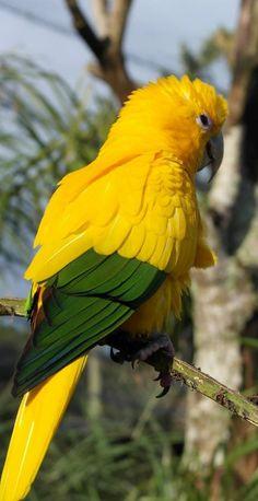 Golden Conure ~ Amazon, Brazil`✿.¸¸.