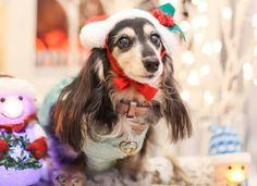 Christmas Dachshund, Dogs, Animals, Animales, Animaux, Doggies, Animal, Animais, Dieren