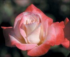 """Gemini"" hybrid tea rose"