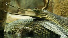 El gavial: un reptil grande y rápido
