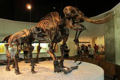 American mastodons, mother and child, recovered from the La Brea Tar Pits. These distant relatives of modern elephants lived in North America from 3.7 million years ago until just recently in 10,000 BC. George Page Museum, Los Angeles.
