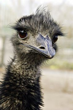 ♥ Emu. I think I'm jealous of those eyelashes.