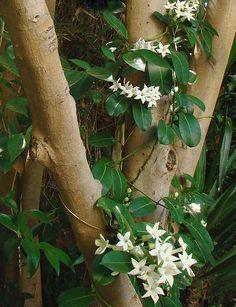 Stephanotis floribunda - Madagascar Jasmine by mondomuse, via Flickr