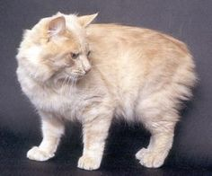 Cat of the Day - Manx - http://blog.hepcatsmarketing.com - check out our blog network for more cute like this!