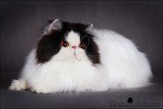 persian cat - Поиск в Google