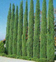 column shaped cypress trees | blue italian cypress blue italian cypress requires full sun exposure ...