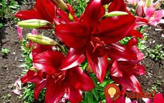 Lillies, from J. Beautiful Roses, Pretty Flowers, Red Flowers, Good Morning Flowers Pictures, Flower Pictures, Merry Christmas, Bamboo Plants, Victorian Homes, Flora
