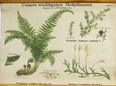 Pull Down Vintage Biology Chart, Fern Medicinal Plants German Chart. £80.00, via Etsy.