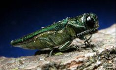The City of Waukesha has its first confirmed case of Emerald Ash Borer in Frame Park, according to the University of Wisconsin-Extension.