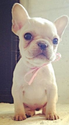 Girly French Bulldog Puppy